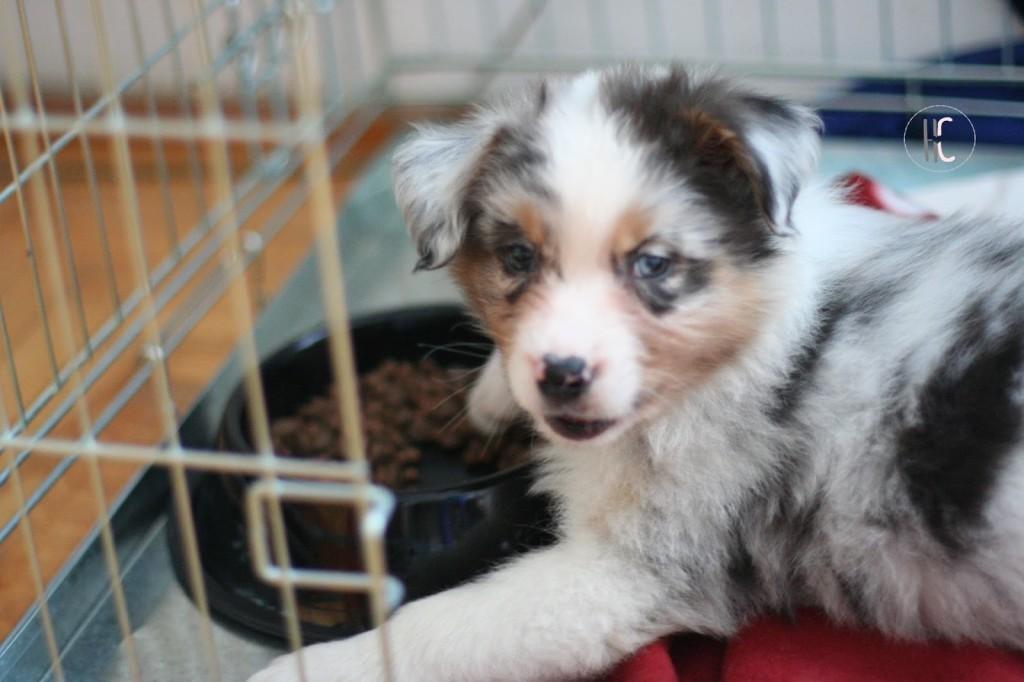 Jak nauczyć psa przebywania w klatce